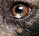 Deer tick on dogs eye.