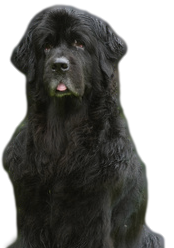 Newfoundland dogs are prone to hot spots.