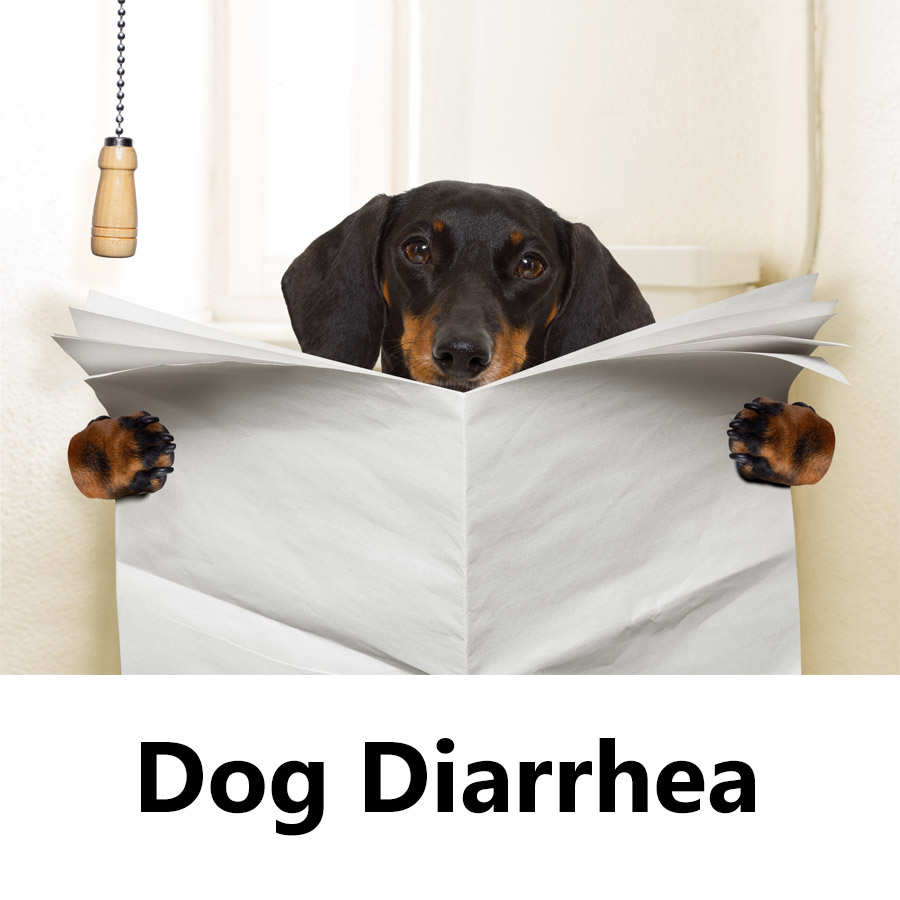 Pup suffering from dog diarrhea reading a paper.