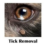 Tick on  a dog's face
