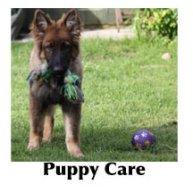 Puppy GSD