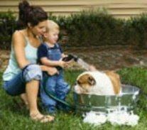 Bulldog having a bath in colloidal oatmeal shampoo to treat dog allergies.