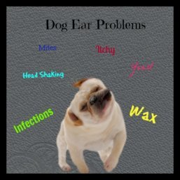 There are many ear problems that affect dogs, yeast, wax, bacteria and mites are a few.