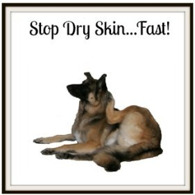 German Shepherd Dog scratching with dry skin.