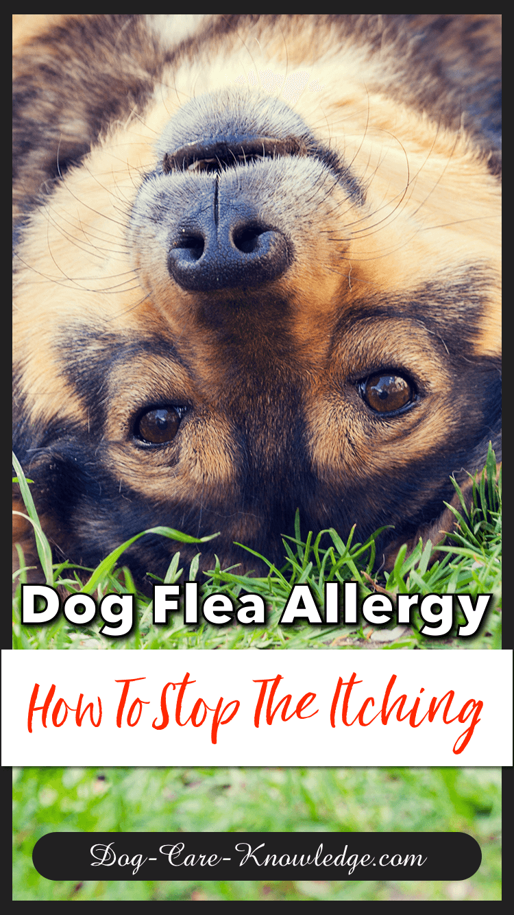 Natural home remedies for treating a dog flea allergy.