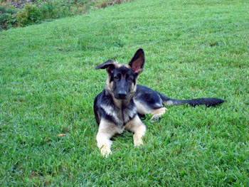 adolescent GSD puppy at 4 months old with floppy ear