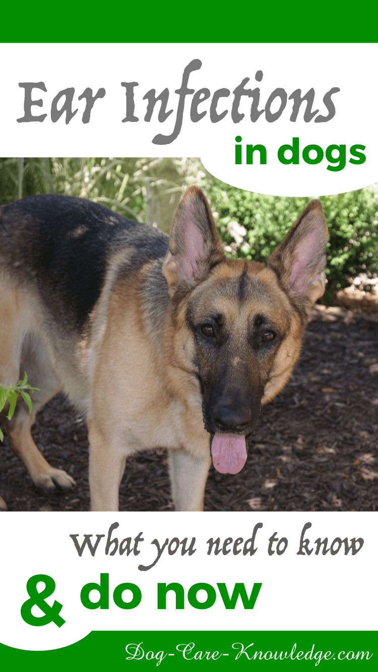 Recognize the signs of ear infections in dogs and what you need to do.