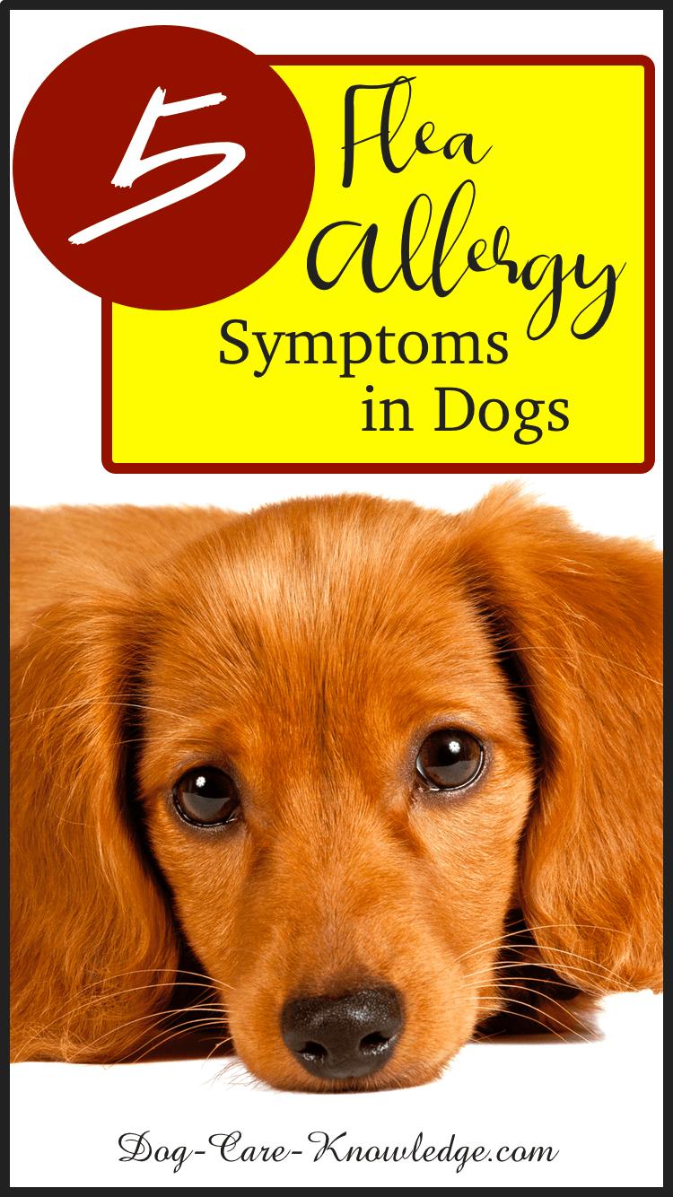 5 Flea Allergy Symptoms in Dogs