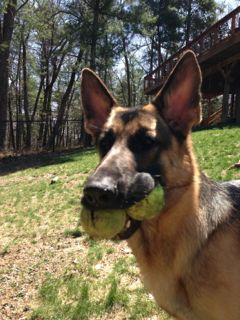 Canine dental problems can occur in dogs that continuously chew on balls and carry them around in their mouth.  Th condition is known as Tennis Ball Mouth.