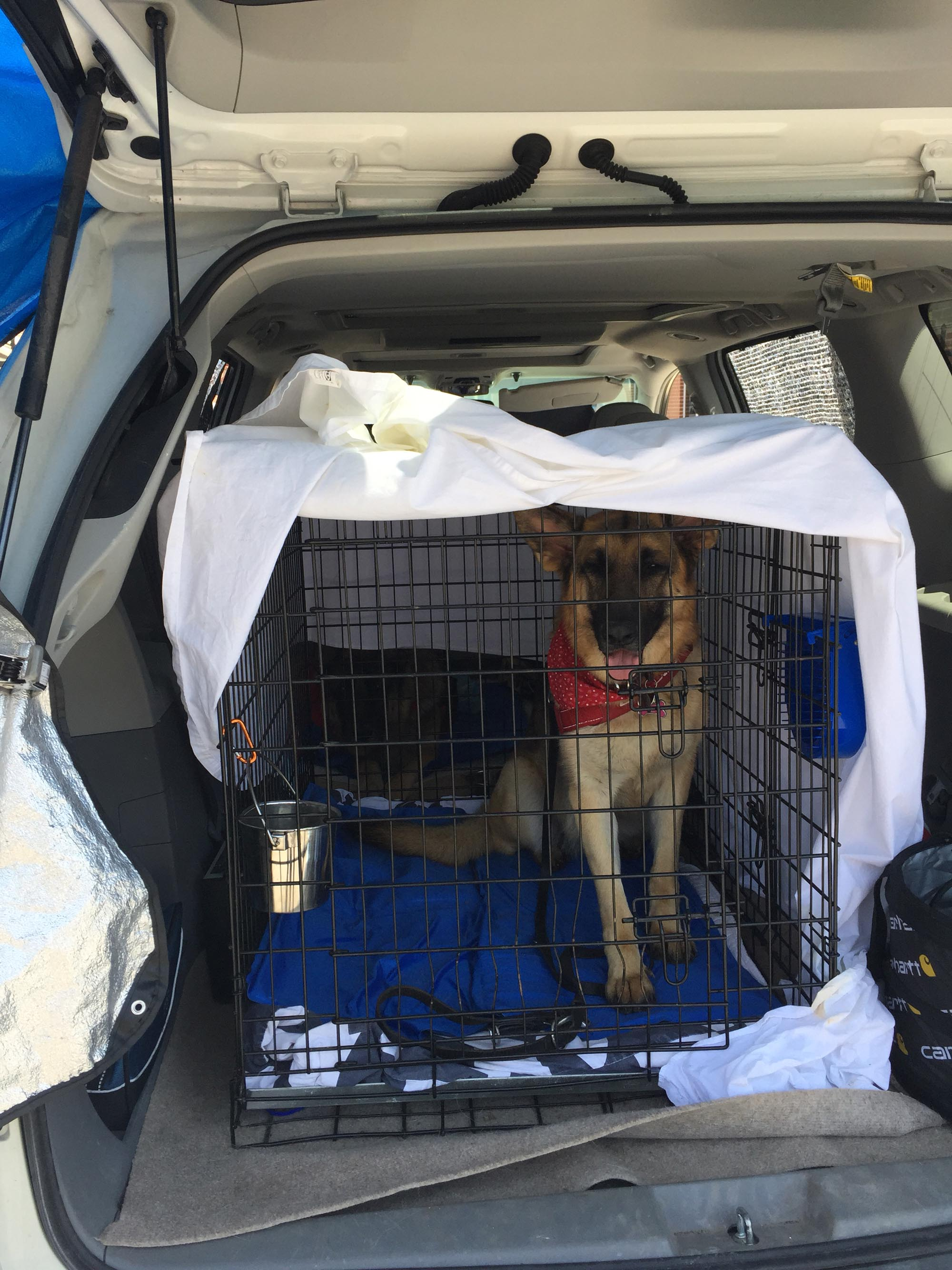 German Shepherd Dog in a crate in a car.
