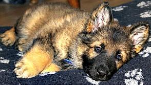 German Shepherd puppy relaxing.