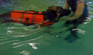 Swimming is a form of Hydrotherapy for dogs that is used to treat dog arthritis during geriatric dog care.