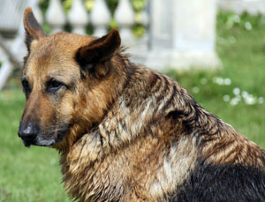 Max was a wonderful German Shepherd Dog that benefited from special older dog care.