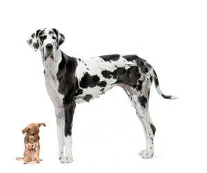 Larger dogs have a shorter life span than smaller dogs.