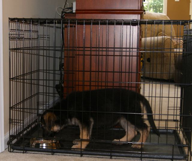 Feeding your puppy in her crate helps with crate training a puppy to love being in a crate. Here's a GSD puppy in her crate.