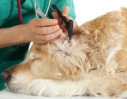 dog having his ear examined by vet.