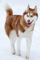 Husky dogs love the cold weather but can get dry skin.