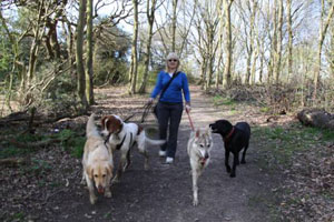 Four dogs is optimal for a dog walker  to be comfortable with a pack.