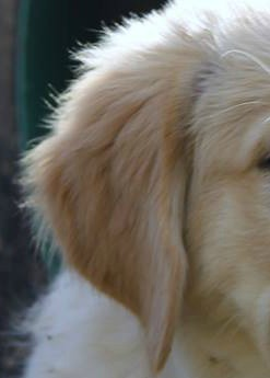 Close up of Golden Retriever's floppy ear.