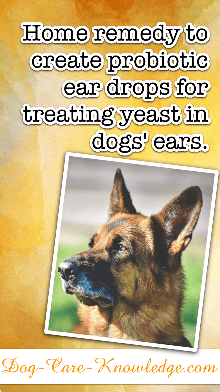 Home remedy for making probiotic ear drops to treat yeast in dogs' ears.