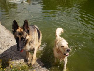 Yeast infections in dogs.