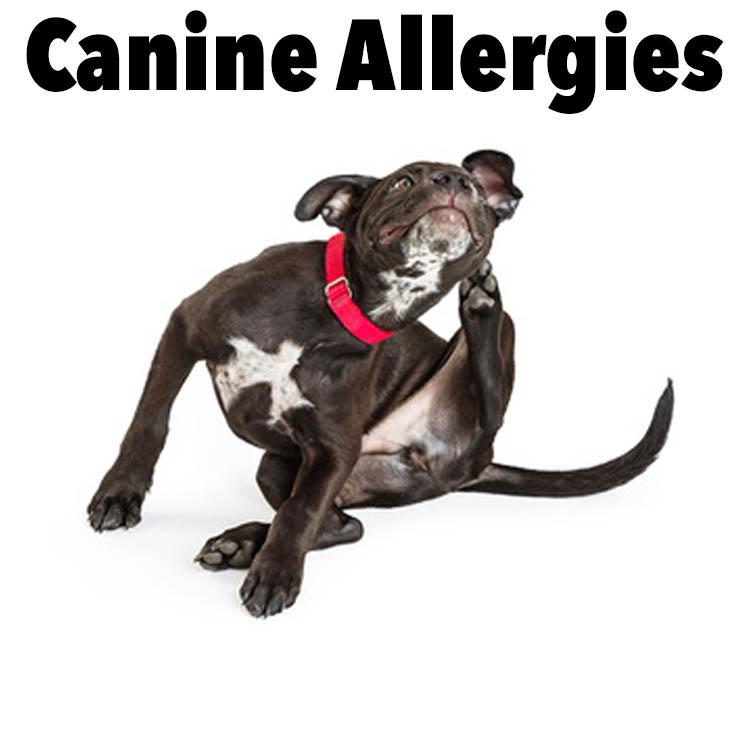 common dog skin conditions symptoms diagnosis remedies