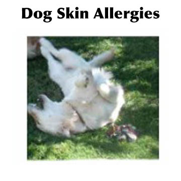 Dog with skin allergies