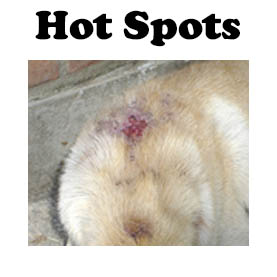 Quick treatment for hot spots in dogs.
