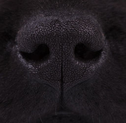 Close up of dog's nose.