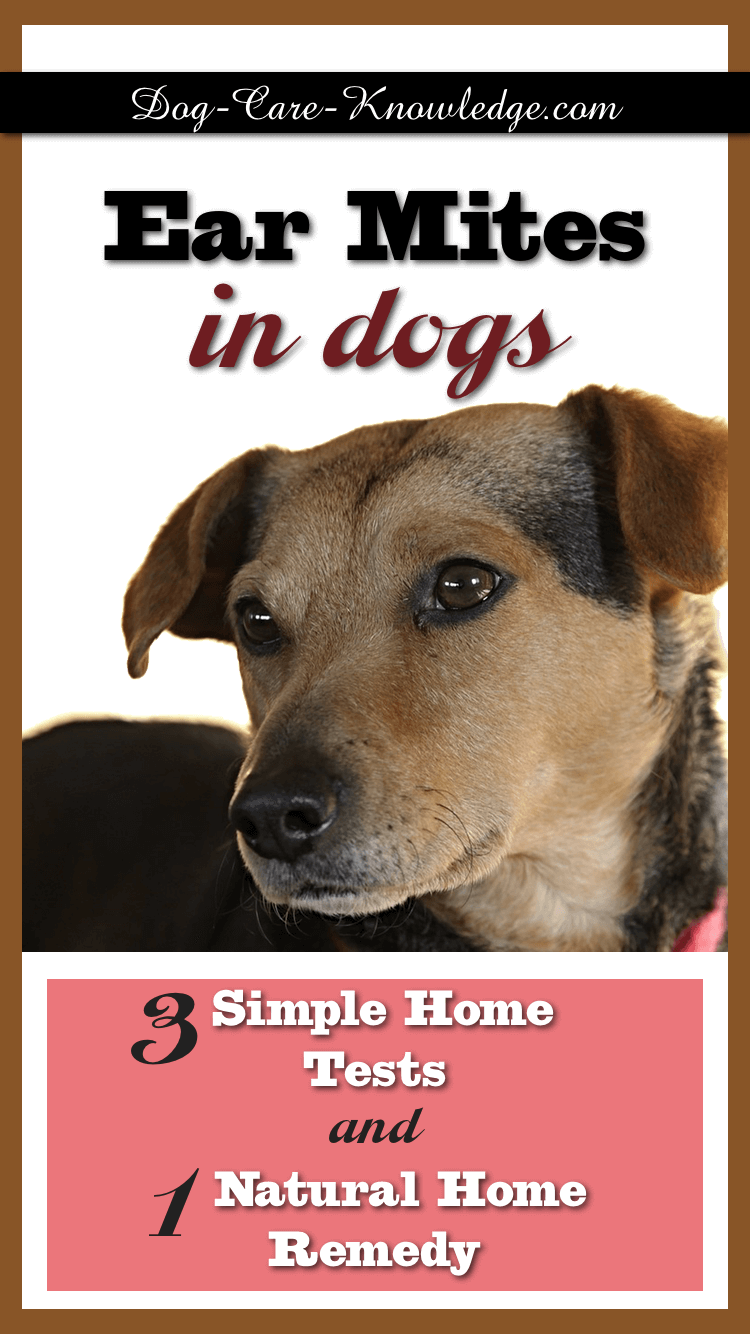 Fail-proof home remedy for treating ear mites in dogs.