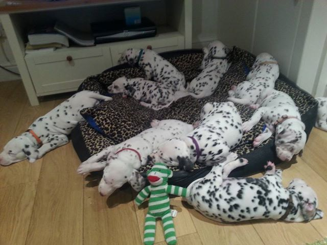 5 week old Dalmatian puppies.