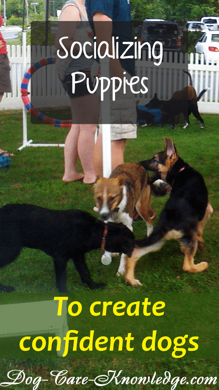 Socializing puppies to prevent fear or aggression problems.
