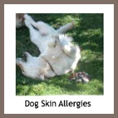 Skin allergies in dogs.