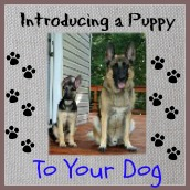 Tips on introducing a puppy to your existing dogs.
