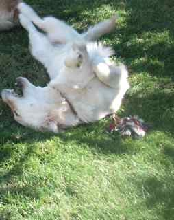 A dog will often roll on their backs to relieve the itch of allergy symptoms.