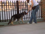 Loose leash walking with a puppy.