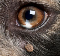 Deer tick on dogs eye.