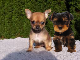 Toy Breed puppies