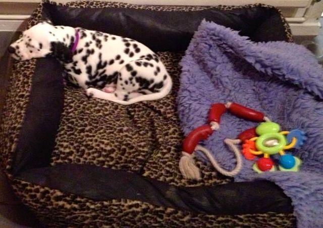 8 week old Dalmatian puppy.