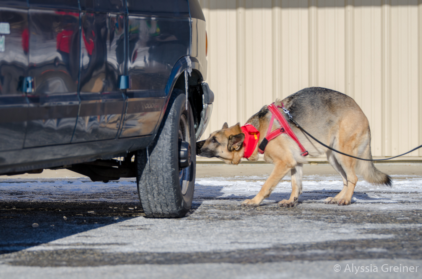 GSD finding odor on vehicle