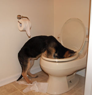 Puppy drinking out of a toilet.