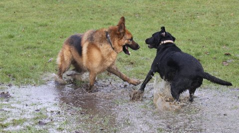 A dog that loves to play in muddy puddles or just enjoys swimming is prone to a dog skin infection.