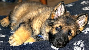 German Shepherd puppy relaxing.