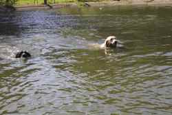 A yeast infection in dogs can be aggravated by swimming, especially a dog ear infection.