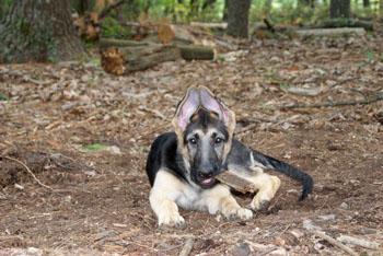 10 week old German Shepherd puppy with ears up.