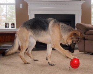 Dog playing with the Kong Wobbler to relieve boredom in separation anxiety.