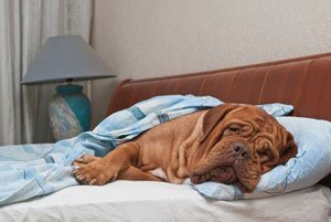 Your bedding will need to be treated if a dog with fleas sleeps on your bed.