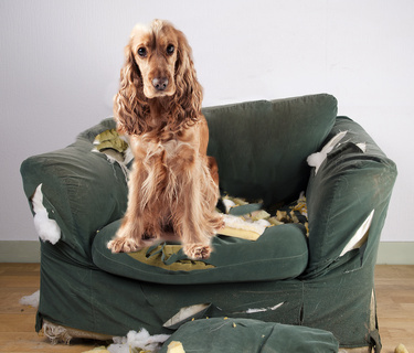 Destructive behavior caused by a dog suffering from separation anxiety.
