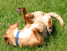 dog rolling on grass.