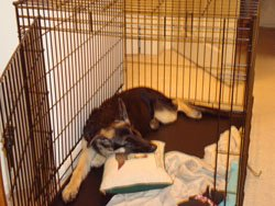Dogs that are crated trained love being in their kennels.  It's their den.